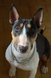 Kelya, chien Bull Terrier