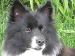 Mickie, chien Border Collie
