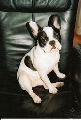 Fibi, chien Bouledogue français