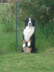 Erable Du Crot Galop, chien Bouvier bernois