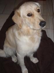 Joey, chien Golden Retriever
