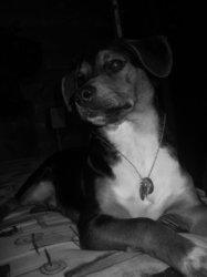 Karamel, chien Jack Russell Terrier