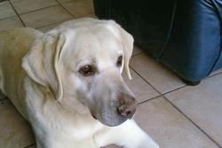 Pilou, chien Labrador Retriever