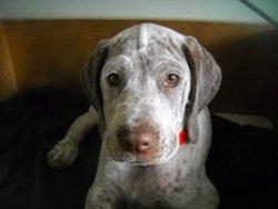Farook, chien Braque du Bourbonnais