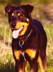 Gincko, chien Beauceron