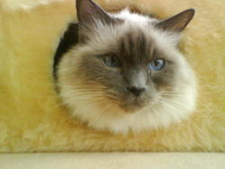 Nemo, chat Birman