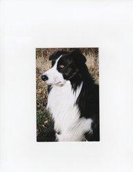 Filou, chien Border Collie