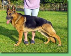 Ares, chien Berger allemand