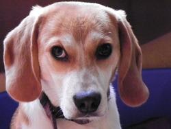 Flip, chien Beagle