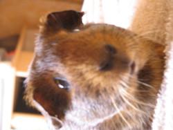 Lili, rongeur Cochon d'Inde