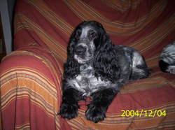 Roxane D Artenset, chien Cocker anglais