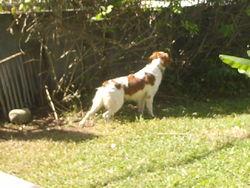 Akim, chien Épagneul breton