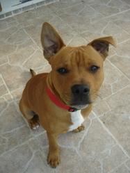 Espion, chien Staffordshire Bull Terrier