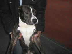Tayron, chien American Staffordshire Terrier