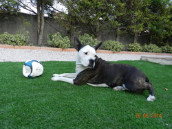 Dabia, chien American Staffordshire Terrier