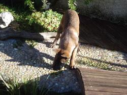 Dacotta, chien Berger belge