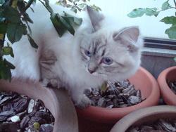 Lani, chat Sibérien