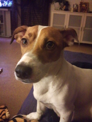 Yuna, chien Jack Russell Terrier