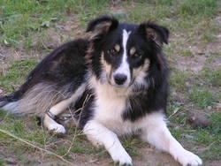 Sanga, chien Border Collie