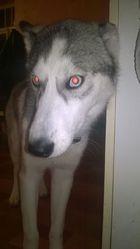 Daemon, chien Husky sibérien