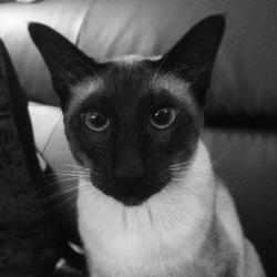 Daemon, chat Siamois