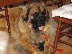 Daena, chien Leonberger