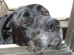 Daena, chien Dogue allemand