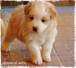 Daenerys, chien Border Collie