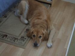 Sally, chien Golden Retriever
