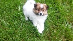 Daffy, chien Spitz allemand