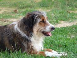 Dafné, chien Berger australien