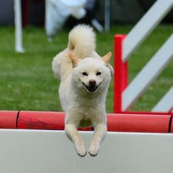 Dagan, chien Shiba Inu