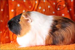 Dagett, rongeur Cochon d'Inde