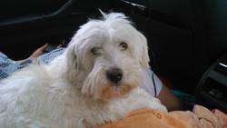 Dagobert, chien Coton de Tuléar
