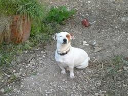 Dagobert, chien Jack Russell Terrier