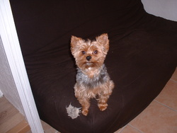 Dagobert, chien Yorkshire Terrier