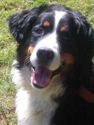Dagone, chien Bouvier bernois