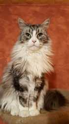 Dahia, chat Maine Coon