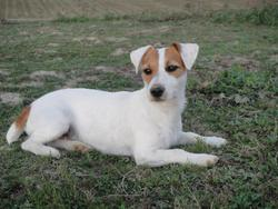 Dahlia, chien Jack Russell Terrier