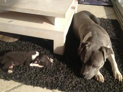 Daia, chien American Staffordshire Terrier