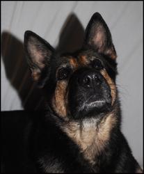 Daia, chien Berger allemand