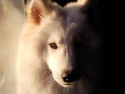 Daia, chien Samoyède
