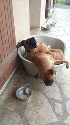 Daika, chien Boxer