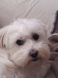 Daika, chien Bichon maltais
