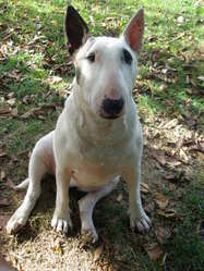 Daika, chien Bull Terrier