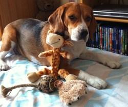Daika, chien Beagle