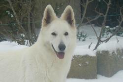Daika, chien Berger blanc suisse
