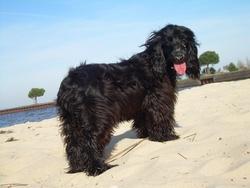 Daika, chien Cocker anglais