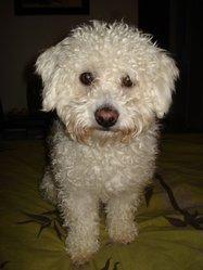 Daiko, chien Coton de Tuléar
