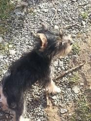 Daiko, chien Yorkshire Terrier